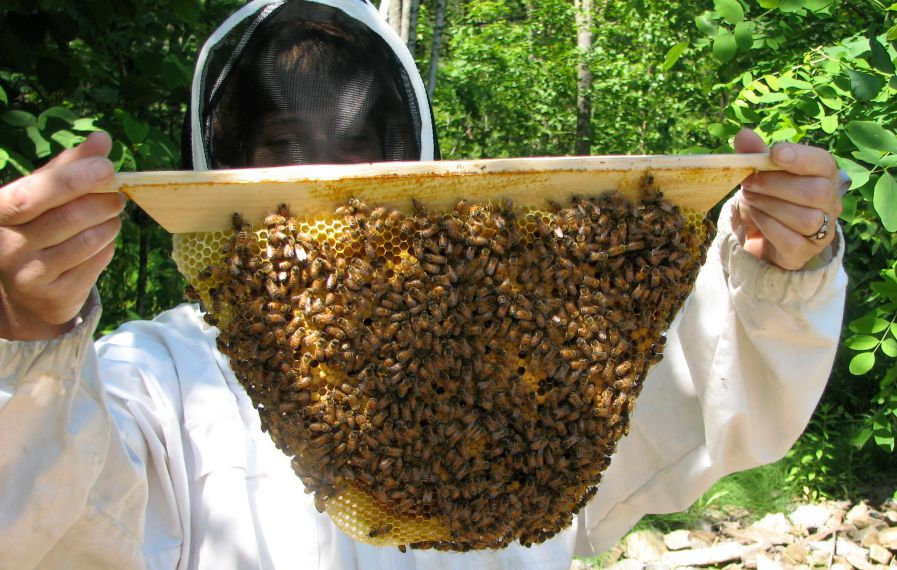 beekeeper holding natural comb from top bar hive